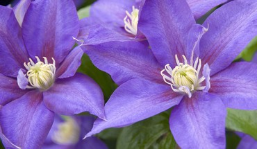 Clematis HD wallpaper