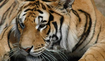 The siberian tiger HD wallpaper