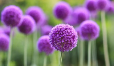 Allium flowers macro purple HD wallpaper