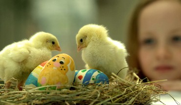 Easter chicks (chickens) nest baby birds HD wallpaper