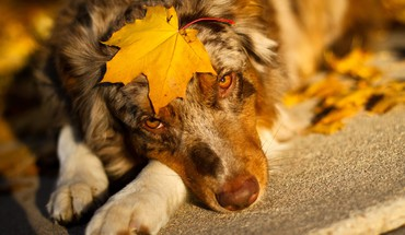 Fall dog HD wallpaper