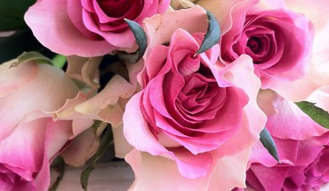 Pretty shaded roses HD wallpaper