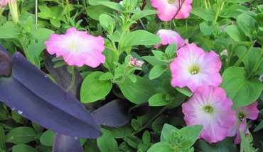 Flowers pink petunias HD wallpaper