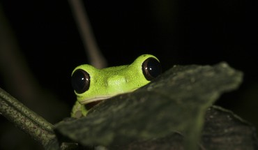 Animals frogs red-eyed tree frog amphibians HD wallpaper