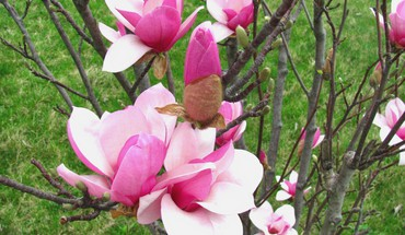 Spring magnolia blooms HD wallpaper