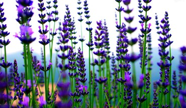 Lavender strands HD wallpaper