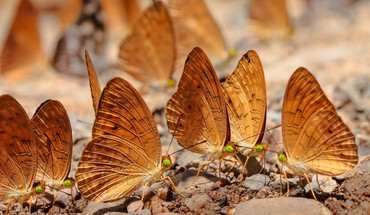 Butterflies in gold HD wallpaper