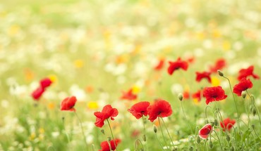 Fields poppies HD wallpaper