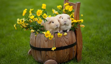 Grass guinea pigs pet HD wallpaper