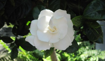 Contrast in flowers 30 gardenia HD wallpaper