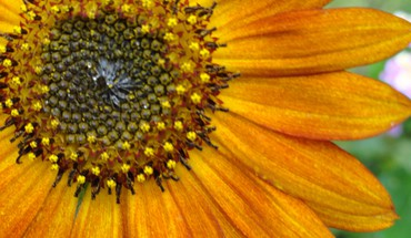 Close up sunflower HD wallpaper