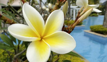Plumeria durch Swimmingpool Bora  HD wallpaper