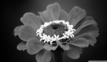 Black and white nature flowers HD wallpaper