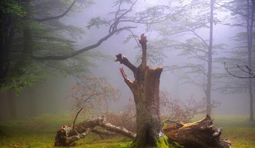 Dead tree in a foggy forest HD wallpaper
