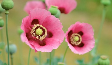Flowers pink poppies HD wallpaper