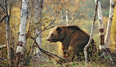 Bears birke braun Wälder  HD wallpaper