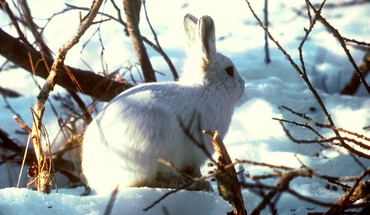 Animaux branches arctiques bunnies nature  HD wallpaper