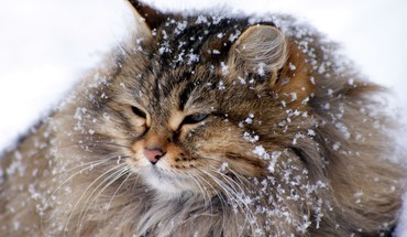 Animaux chats hiver neige  HD wallpaper