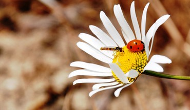 Flowers insects ladybirds macro white HD wallpaper