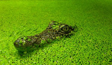 nature de l'eau crocodiles reptiles  HD wallpaper