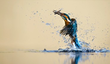 Birds hunt kingfisher nature water HD wallpaper