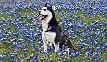 Animals dogs husky blue flowers HD wallpaper