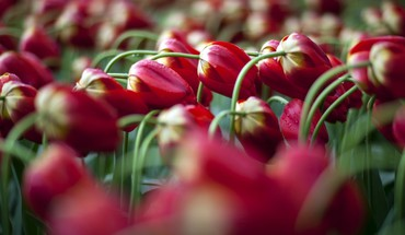 Flowers nature tulips HD wallpaper