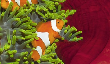 Clownfish islands pair HD wallpaper