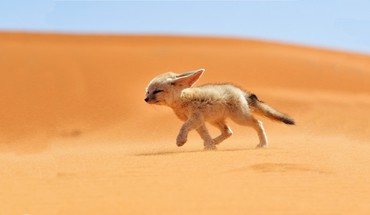 Sand animals desert fennec fox foxes HD wallpaper