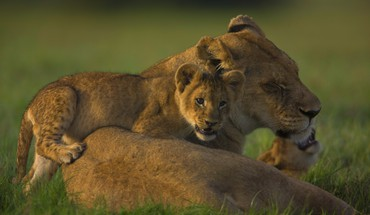 Lioness with a cub HD wallpaper