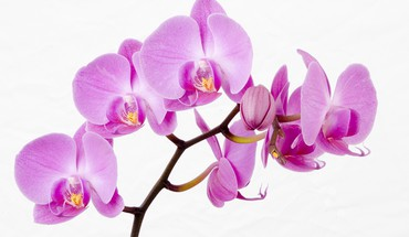Flowers white background orchids pink HD wallpaper