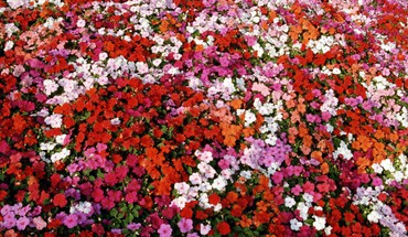 Bed of impatiens HD wallpaper