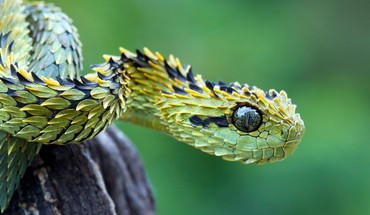 Animals snakes viper reptiles HD wallpaper
