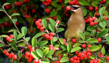 Vögel Beeren waxwing  HD wallpaper