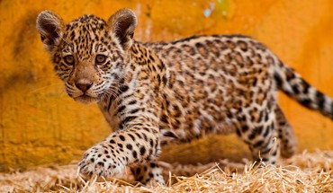 Animals kittens jaguars baby HD wallpaper