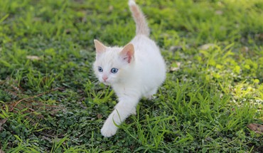 White kitten HD wallpaper