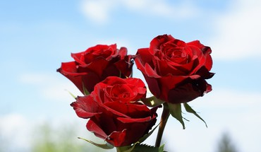Deep red roses HD wallpaper