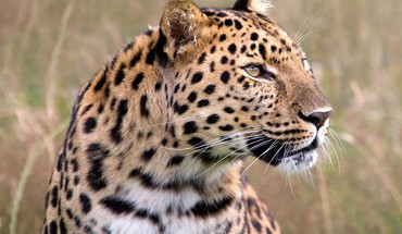 Amur leopard animals leopards male wildlife HD wallpaper