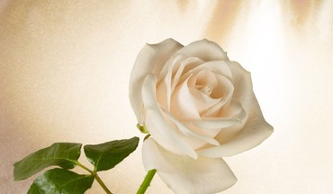 White rose for my friend yaty HD wallpaper