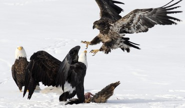 Animals bald eagles reservoir HD wallpaper