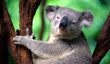 Animals koalas HD wallpaper