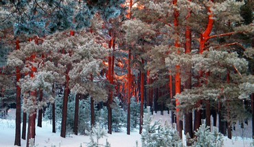 Redwoods en hiver  HD wallpaper