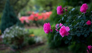 Flowers roses pink blurred background park HD wallpaper