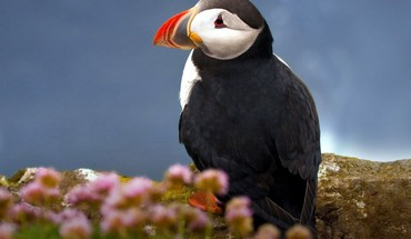 Puffin animals birds HD wallpaper