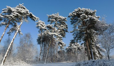 Snowy pines HD wallpaper