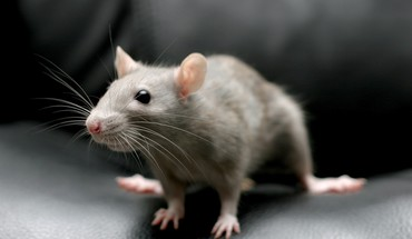 Animaux Mammifères rongeurs rats  HD wallpaper