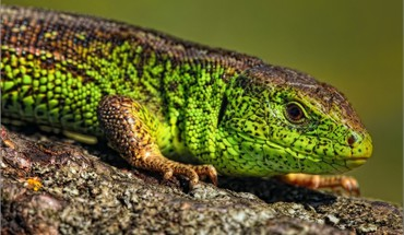 Animals lizards HD wallpaper
