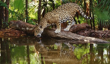 African jaguars lakes palm leaves reflections HD wallpaper