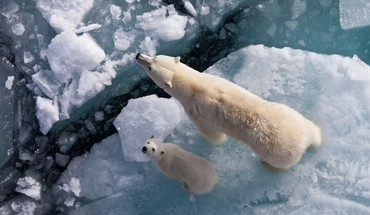 Animals baby ice polar bears white HD wallpaper