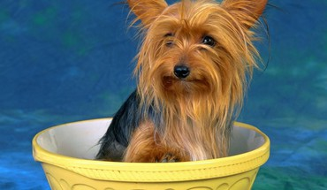 Animals dogs yorkshire terrier HD wallpaper